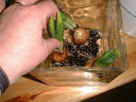 éliminer le terreau des racines du bulbe et placer ce bulbe dans le vase